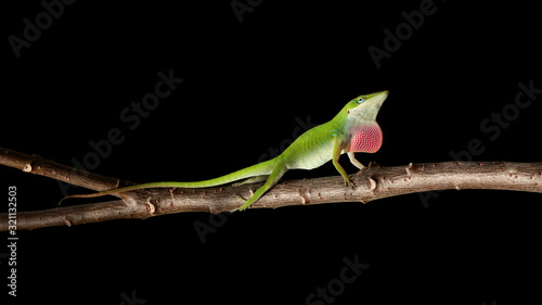Green anole, Anolis carolinensis, perching on branch, Florida, USA Canvas Print