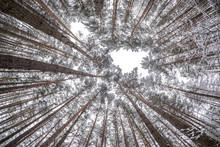 Looking Up Into Winter Forest. Trees Growing In The Sky