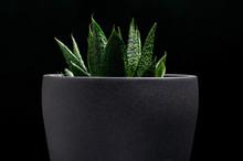 A Succulent (Haworthia Fasciat...