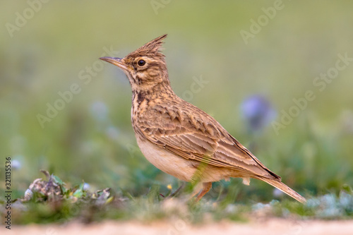 Valokuvatapetti Crested lark side view