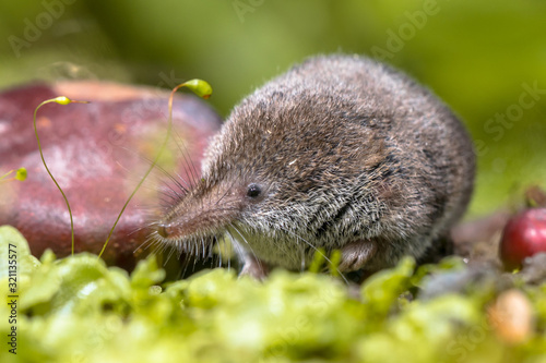 Fototapeta Eurasian pygmy shrew natural habitat