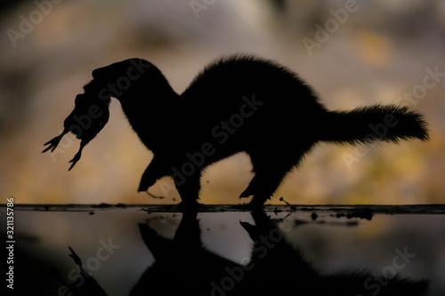 Fotografija Polecat running with prey at night