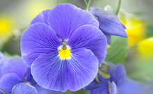 Blue Lilac Pansies Flowers On A Blurred Background