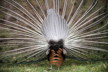 Back View Of Peacock With Erected Tail