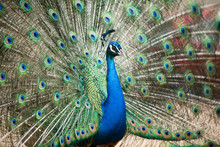 Amazing Blue Peacock With Eyelike Markings On Tail