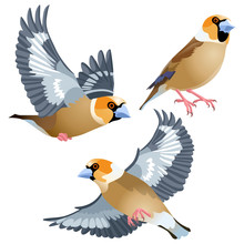 Three Poses Of Natural Looking Birds Hawfinch