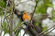 European Robin (Erithacus rubecula) perches on a cherry blossom tree