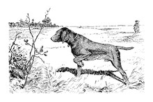 Hunting Dog - Vintage Engraved...