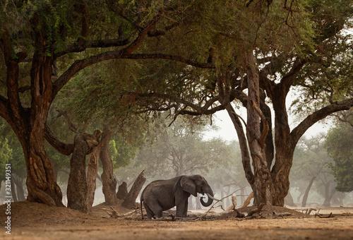 African Bush Elephant - Loxodonta africana in Mana Pools National Park in Zimbab Canvas Print