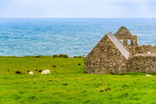 Sheep Grazing  By The Ruins Of...