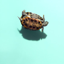 Smiling Red Eared Slider Pet Turtle Floating Levitating Above Dark Defined Shadow On Solid Blue Green Teal Background Overhead View Humorous Funny