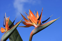 Strelizia, Bird Of Paradise Fl...