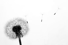 Silhouette Of Dandelion With S...