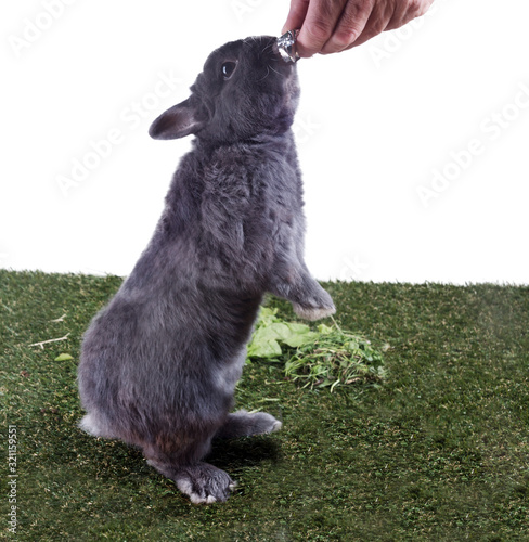 A gray dwarf rabbit stands on the grass on its hind legs for a treat Wallpaper Mural