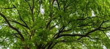 Ash Tree Canopy