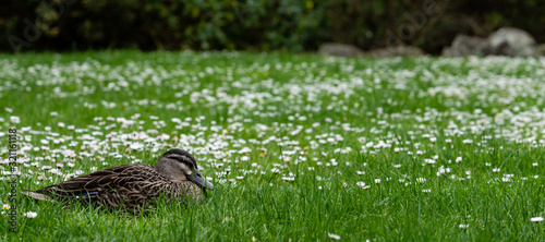 Resting Amongst the Daisies Canvas Print