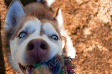 A Red Husky Playing Toggle Wit...