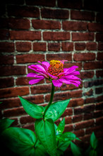 Vibrant Flower Against Brick W...