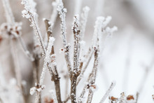 Plants Covered With Frost In W...
