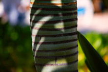 Closeup Of Palm Tree Trunk.Pal...