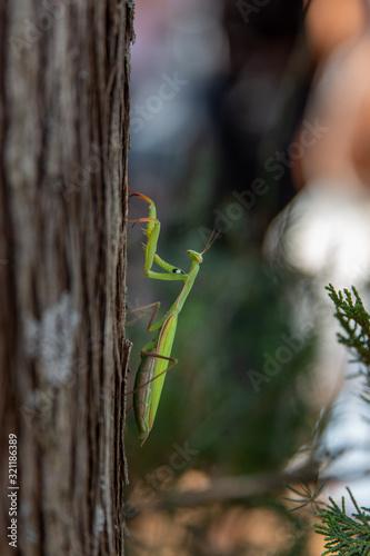 Macro of a Praying Mantis on a Tree Wallpaper Mural