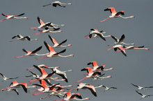 Flamingoes In Flight : Flaming...