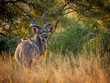 canvas print picture - Greater kudu (Tragelaphus strepsiceros) male. Mpumalanga. South Africa.