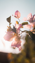 Photo Of A Pink Bougainvillea ...