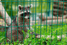 Little Raccoon In A Cage