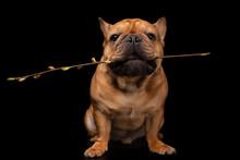French Bulldog On A Black Isol...