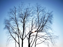 Silhouettes Of Dead Trees Outdoors. The Structure Of Tree Branches Against A Background Of Beautiful Blue Sky With Glare Of The Summer Sun In The Morning. Selective Focus