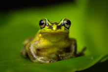 Beautiful Green Frog Sitting A...