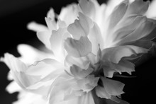 Macro White Flower Peony Petal On Black Background Minimal Abstract Spring Floral Card