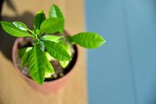 Close Up Young Lemon Tree On T...