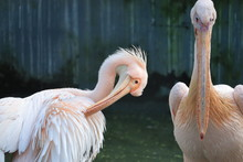 Portrait Of White Two Pelicans On The Branch In The Zoo, Out Door Water Birds