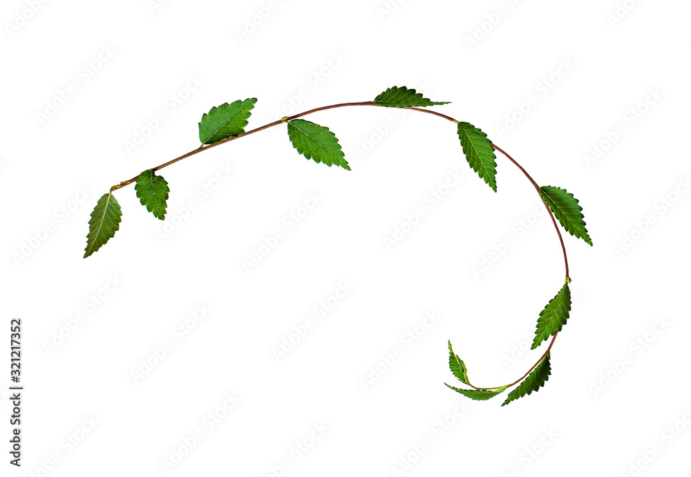 Fototapeta Fresh twisted twig with green leaves