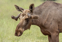 Close Up Of A Young Bull Moose...