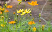 Cosmos Yellow Flower Soft Focu...