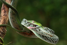 The Green Vine Snake, Oxybelis Fulgidus, Is A Long, Slender Arboreal Colubrid Snake That Inhabits India. T