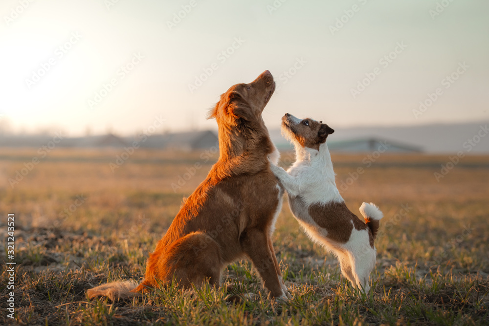 Fototapeta two dogs are playing on the field. Nova Scotia Duck Tolling Retriever and a Jack Russell Terrier