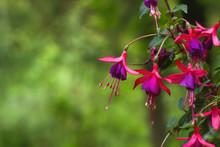 Fuchsia Regia Flowers