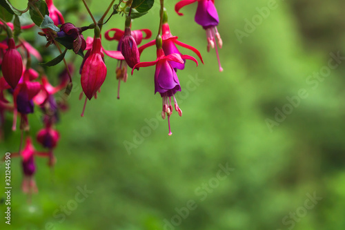 Canvas Print fuchsia regia flowers
