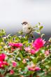 スズメとサザンカ(Eurasian Tree Sparrow)