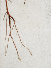 Root Of Tree On White Wall