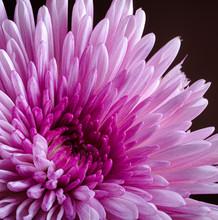 Closeup Of A Pink China Aster ...