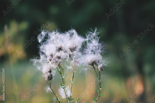 White fluffy agrimony plant in rural field Canvas Print