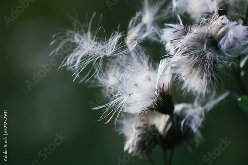 Photo White fluffy agrimony plant in rural field