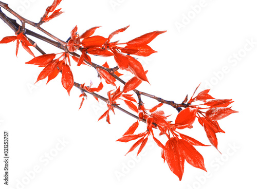 Red foliage on poplar twigs isolated on a white background. Canvas Print