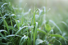 Close Up Of Fresh Green Wet Grass With Water Drops In The Early Morning In Countryside