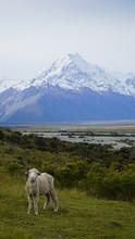 Animal Devant Montagne
